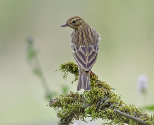 Tree pipit, Świergotek drzewny, Anthus trivialis, small bird brown, stick, moss, świergotek, ptak, puszcza wkrzańska, rezerwat świdwie, artur rydzewski