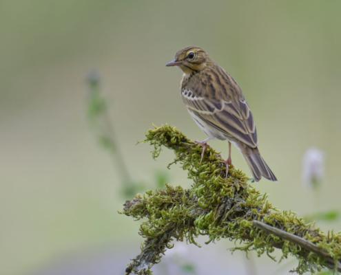 Tree pipit, Świergotek drzewny, Anthus trivialis, small bird brown, stick, moss, świergotek, ptak, puszcza wkrzańska, rezerwat świdwie