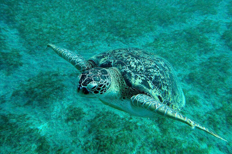turtle from red sea water green